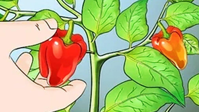 10 היתרונות התזונתיים של הגמבה (פלפל אדום)